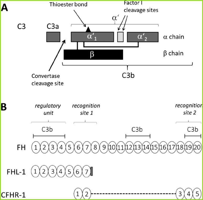 Schematic depicting the domain structure of C3 and the CCP domains of