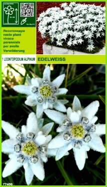 Leontopodium Alpinum Edelweiss line Pflanzen bestellen
