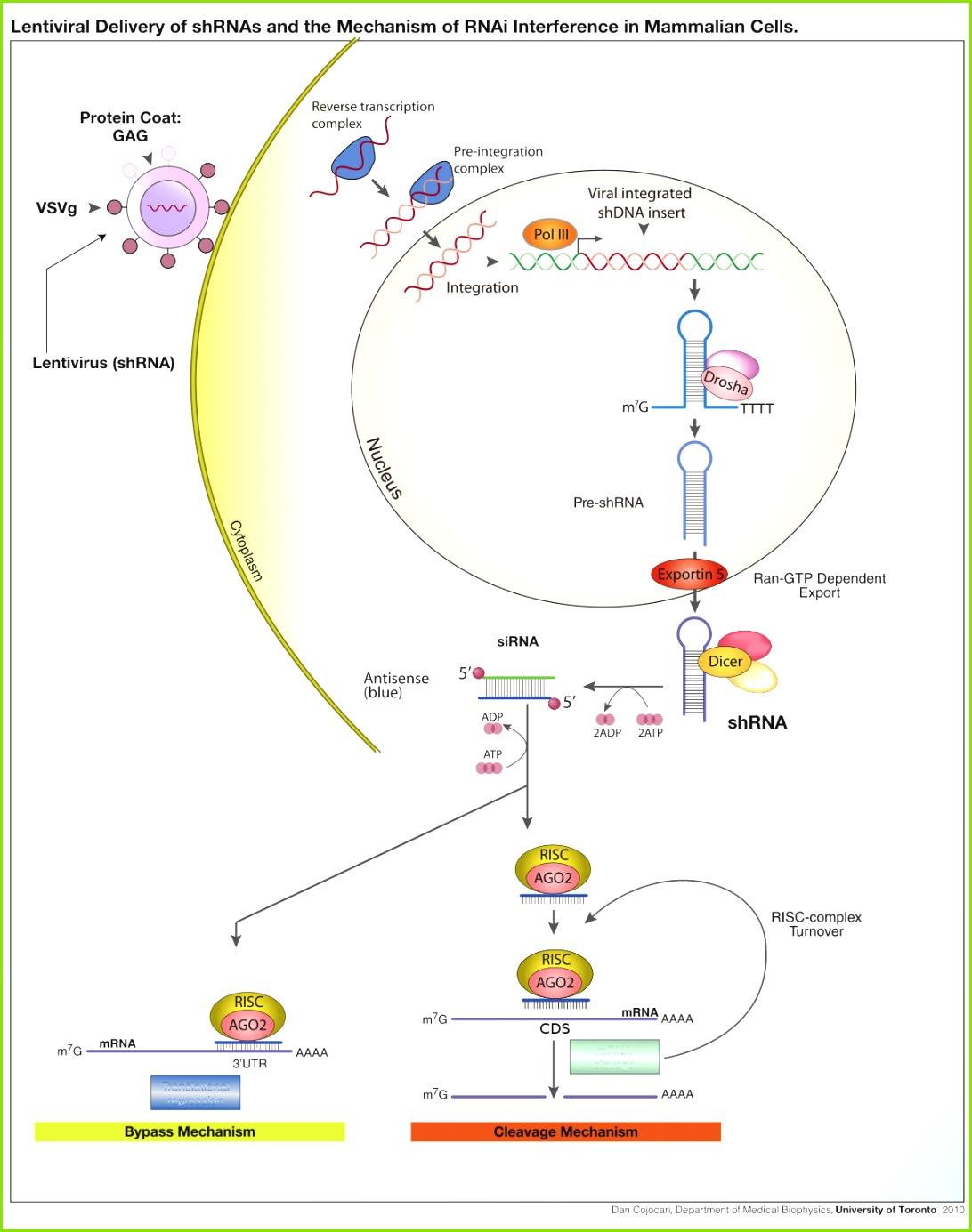 1200px ShRNA Lentivirusg