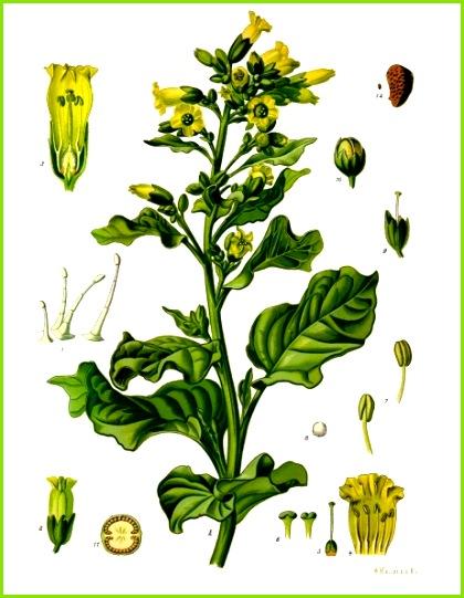 Nicotiana rustica Köhler–s Medizinal Pflanzen 226