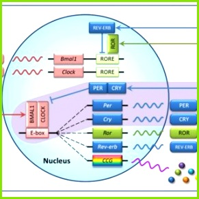 Transcriptional feedback loops of the mammalian circadian clock In the core loop purple
