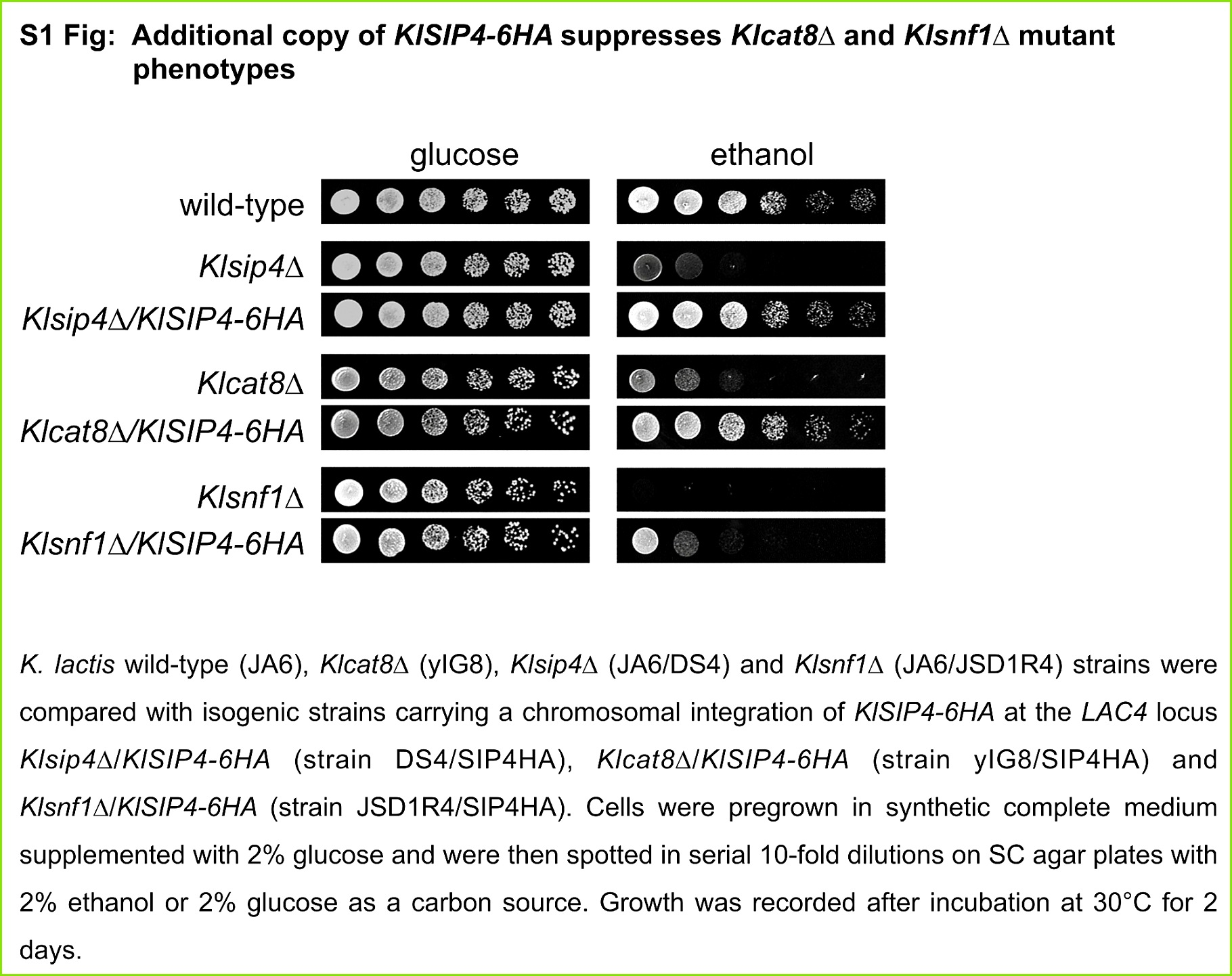 S1 Fig Additional copy of KlSIP4 6HA suppresses cat8Δ and snf1Δ mutant phenotypes