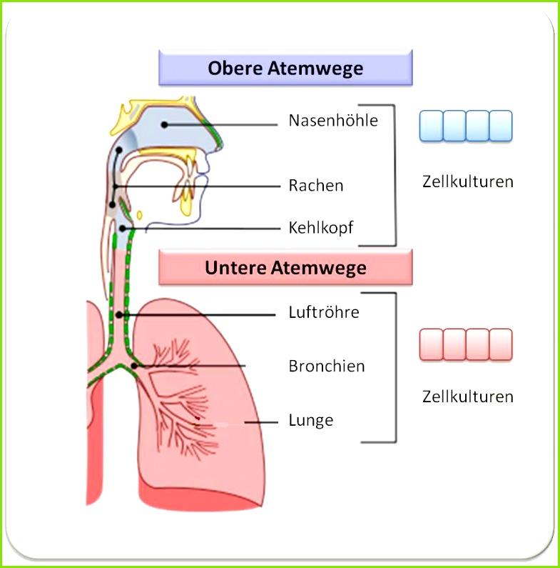 Abbildung 2 Der menschliche Atmungstrakt Epithelzellen aus dem Nasenraum und den Luftwegen der Lunge wurden entnommen Kulturen angelegt und se dann